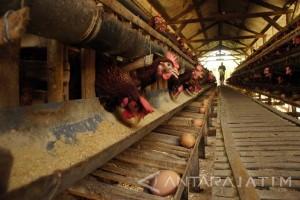 Pakde Karwo: Kenaikan Harga Telur Ayam Dampak Pakan Ternak