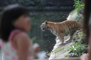 Terkam Dua Orang, Harimau Sumatera Bonita Akhirnya Tertangkap