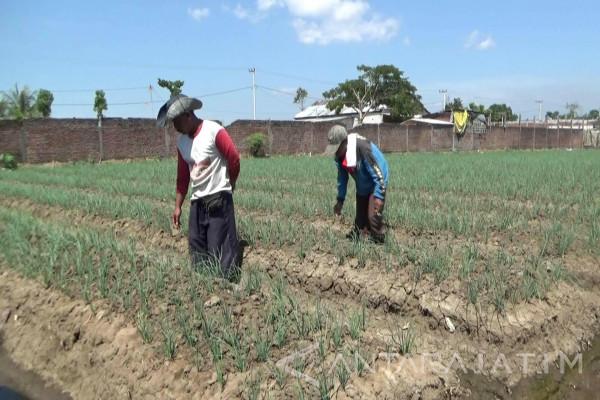 Petani Situbondo Mengeluh Harga Bawang Merah Anjlok