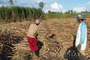 DPRD: Seluruh Tebu Milik Petani Situbondo Tetap Digiling