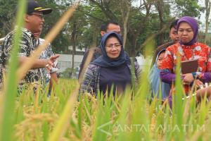 Kemenko Perekonomian: Produksi Padi di Jember Tertinggi di Indonesia (Video)