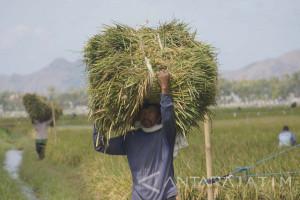 Ribuan Petani Belum Terdaftar, Pembagian Kartu Tani Tulungagung Molor