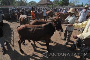 Populasi Sapi di Sampang Capai 213.869 Ekor