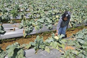 Pembukaan Agrowisata Di Pamekasan