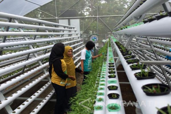 Kembangkan Agrowisata Baru dengan Kebun Hidroponik di Jember