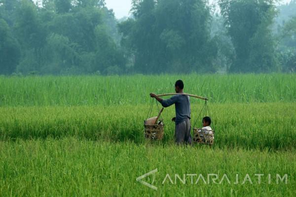 4.500 Hektare Tanaman Padi Bojonegoro Diasuransi