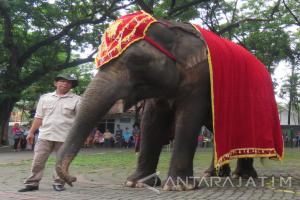 Kebun Binatang Surabaya Kenalkan Gajah Sumatera Berhati Lembut
