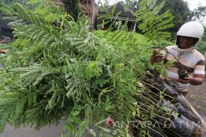 Penjualan Bibit Sengon Meningkat