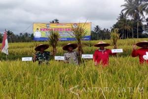 Petani Kembangkan Budi Daya Padi Organik di Candipuro Lumajang
