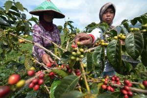41,8 Hektare Lahan Kopi Arabika di Situbondo Bersertifikat Organik