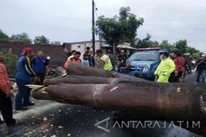 Pengendara Motor di Ngawi Terluka Akibat Tertimpa Pohon Tumbang