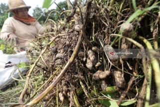 Kacang Tanah Naik