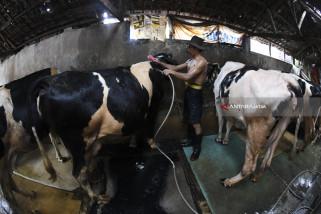 Bahan Produk Susu Kental Manis Diambil Dari Peternak Sapi Lokal