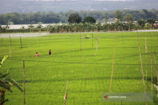 Menteri Pertanian Akan Panen Padi Lahan Banjir