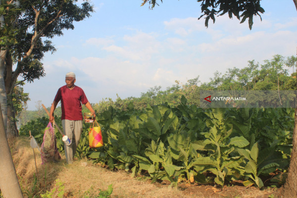 Areal Tanam Tembakau VO Paiton Probolinggo Diprediksi Naik