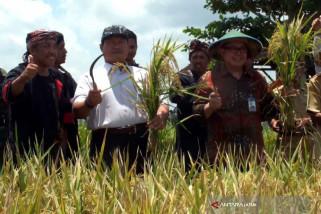 Kelompok Tani Margi Rahayu Jember Panen Padi Varietas Unggul (Video)