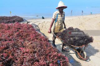 Produksi Rumput Laut Menurun