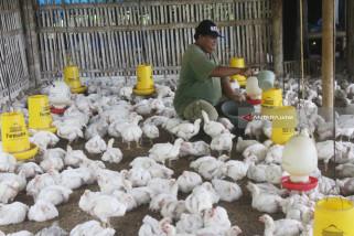 Upaya Peningkatan Produksi Ayam