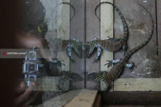 Populasi Komodo KBS Bertambah