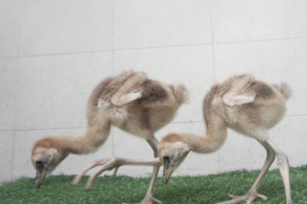 Taman Safari Prigen Tambah Koleksi Dua Burung Afrika