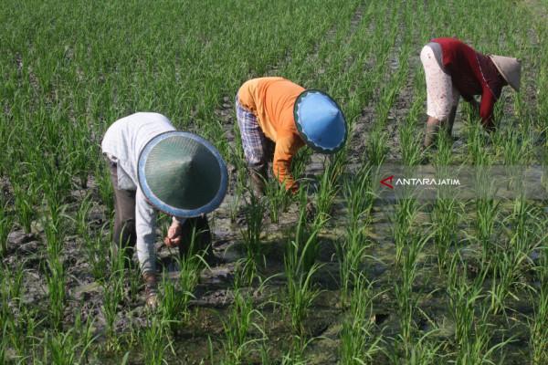 Petani Madura Pasok Kebutuhan Industri Pakan Ternak