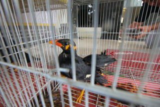 BBKP Surabaya Amankan Ratusan Burung tanpa Dokumen