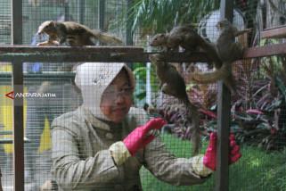 Risma Lepas Ratusan Tupai di Balai Kota Surabaya