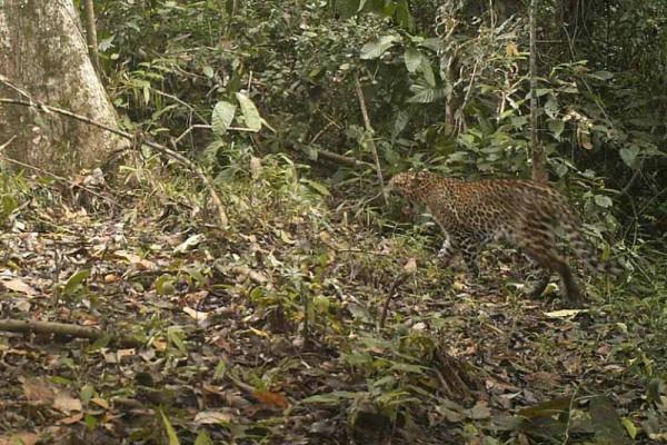 Sejumlah Macan Tutul Tertangkap Kamera Trap di TN Meru Betiri
