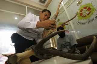 Polisi Surabaya Gagalkan Peredaran Tanduk Rusa asal Papua