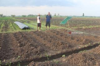 Petani di Probolinggo Mulai Tanam Tembakau