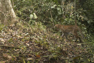 Sejumlah Macan Tutul Tertangkap Kamera Trap di TN Meru Betiri (Video)