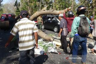 Pengendara Motor Tewas Tertimpa Pohon di Jalur Pantura Situbondo