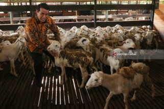 Ekspor Perdana Domba