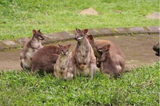 Australiana, Andalan Baru Taman Safari Prigen Menarik Wisatawan