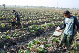 Dinas Pertanian Bojonegoro Pastikan Hujan Tidak Pengaruhi Tembakau