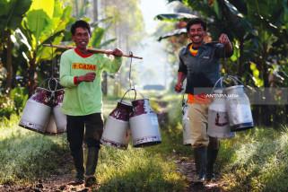 Susu Kental Manis Mengandung Susu Segar Hasil Peternak Sapi Lokal