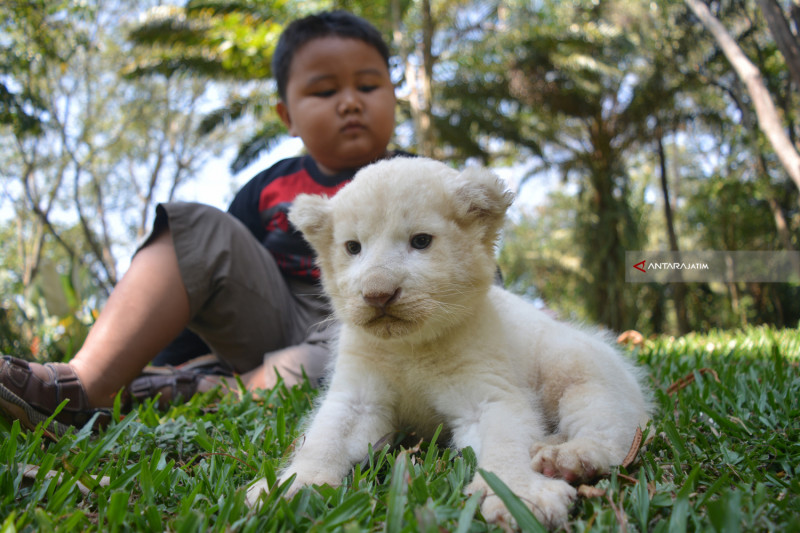 Anakan Singa Putih