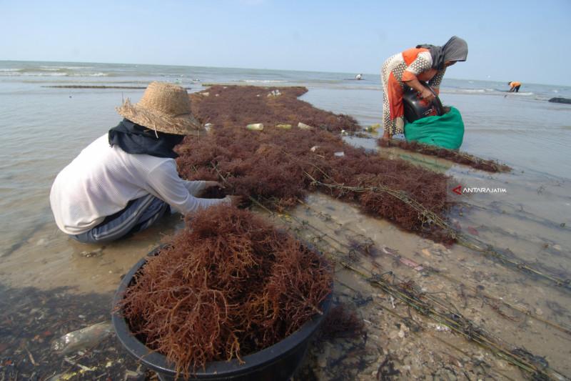 Harga Rumput Laut Naik