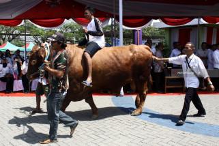 Sapi Kurban dari Jokowi di Jatim asal Lamongan