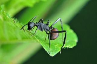 Semut Jenis Baru Ditemukan di Sumatera