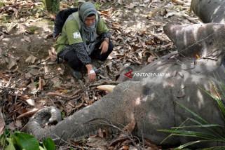Diduga Terpapar Tuba Ikan, Gajah Jinak Ditemukan Mati