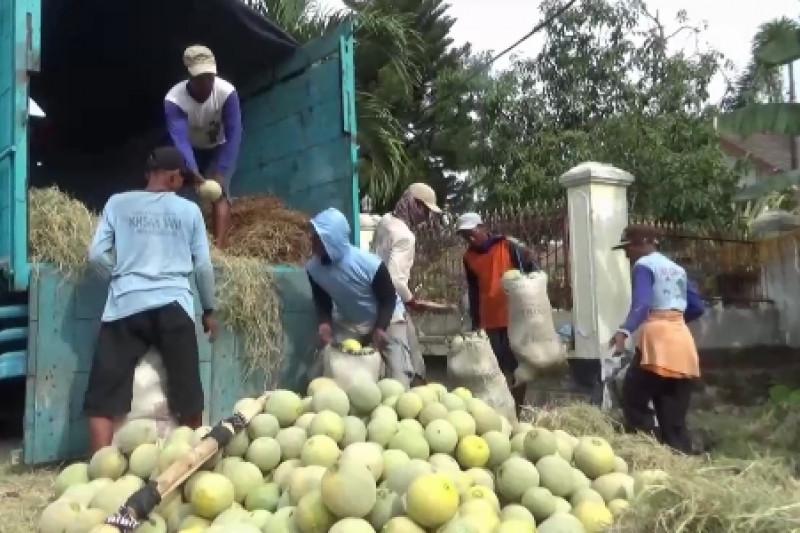 Petani Kabupaten Ngawi Panen Buah Melon