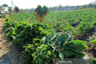 Dinas Pertanian Bojonegoro Optimistis Tembakau Terserap Pabrikan