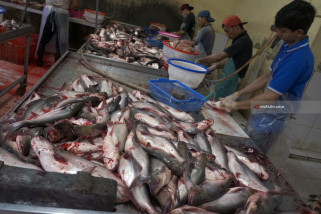 Produksi Fillet Ikan Patin