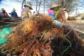 Produksi Rumput Laut Turun