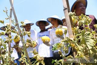 Menteri BUMN Rini Soemarno Panen Melon di Lamongan