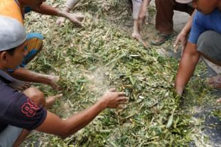 Dengan Teknologi Fermentasi, Limbah Kulit Edamame Jadi Pakan Ternak di Jember