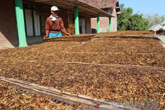 Produksi Tembakau di Bojonegoro Terserap Semua