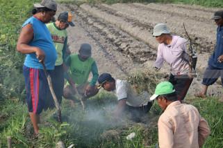 Hama Tikus Serang 1.000 Hektare Sawah di Ngawi