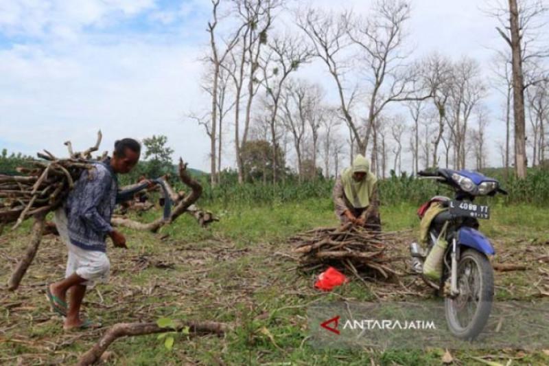 Bojonegoro Target Tanam Kayu Putih 10.000 Hektare